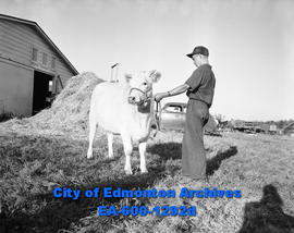 A man and a calf at the Camrose Annual Fair.