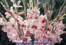 Gladiolus, several spikes, pink with dark throats