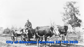 A man driving an oxen team on a homestead near the Athabascan River in northern Alberta.