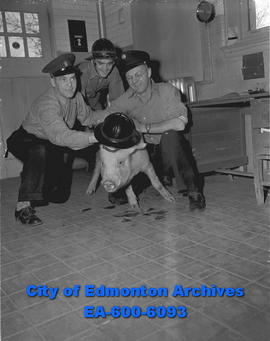 A pig that jumped off a truck was caught by firemen at No. 8 Station. Shown with Jack Koch, Ron W...
