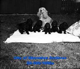 Nikki and her pups, owned by Mrs. D.B. Landers.