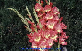 Gladiolus, several spikes, pink with whitethroats