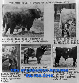 Beef Bull - A Study of Body Conformation