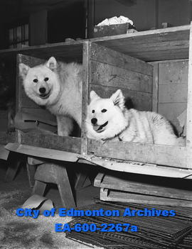 """Canine nobility features annual show"". Samoyed pups Peter and Alta."