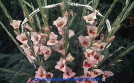 Gladiolus, several spikes, pink