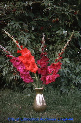 Gladiolus, 4 spikes, red, in vase