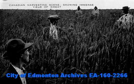 Canadian Harvesting Scene, Showing an Immense Yield of Wheat.
