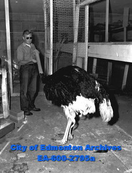 Zoo keeper Jack Sanders feeds raisins to Ozzie the Ostrich.