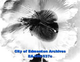 Layout to remind Edmontonians of the sacrifices of two world wars: poppy for Armistice Day.