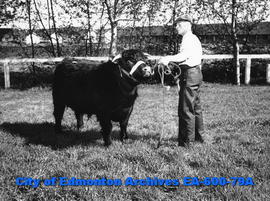 A. D. Laing with purebred Shorthorn bull sold by Claude Gallinger, Tofield, at the Edmonton Arena.