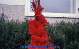 Gladiolus, single spike, red