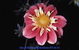Dahlia, single bloom, Woody Woodpecker