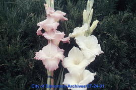 Gladiolus, 2 spikes, pink and white