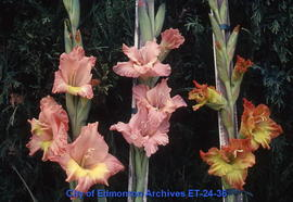 Gladiolus, 3 spikes, in vases for showing
