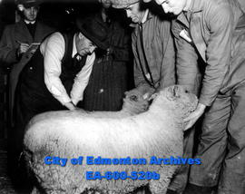 Judges at fall livestock show at the Edmonton exhibition grounds: (L-R) J. Stephens judging ewe o...