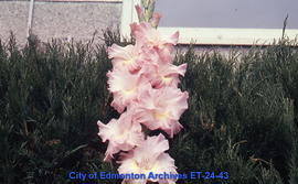 Gladiolus, single spike, pink